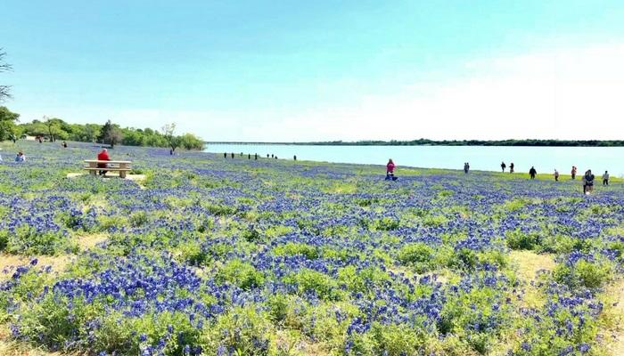 テキサスの花・ブルーボネット鑑賞!エニスのお祭りや写真撮影スポットを紹介